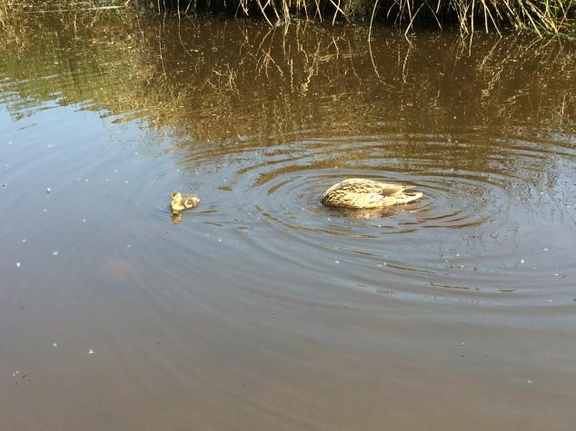 Ducks in Valley of Desolation, Bolton Abbey